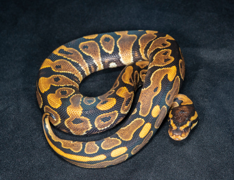 #2005, Female Yellow Belly, $100
