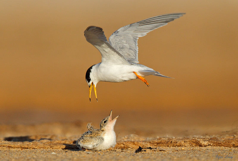 Little Tern mid-air chat MASTER.jpg