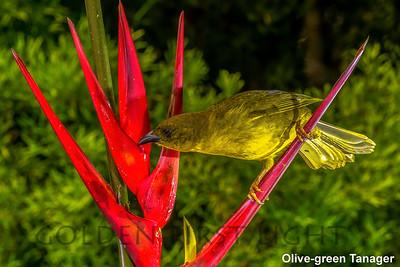 Olive-green Tanager, Trilha dos Tucanos, Brazil