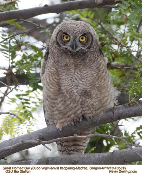 Great Horned Owl J105819.jpg