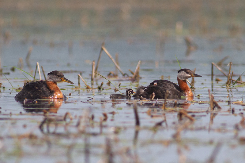 Red-necked Grebe family with young juvenile baby Upper Rice Lake Clearwater County MN IMG_6598.jpg