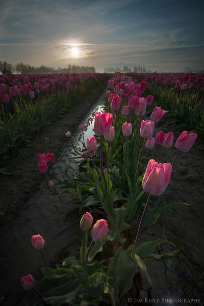 Tulips - Sunrise