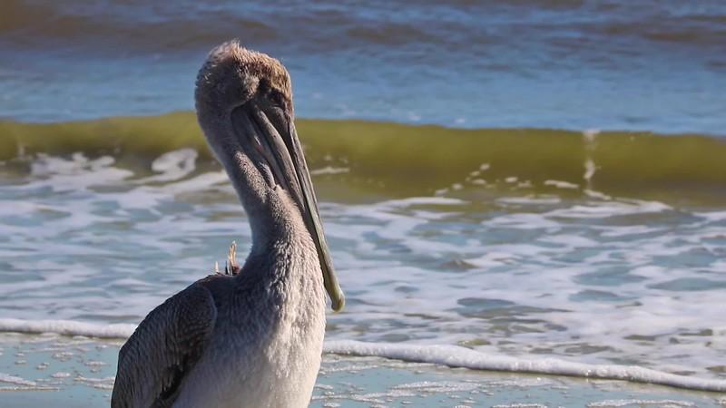 St Simons - Village - Pelican on Beach