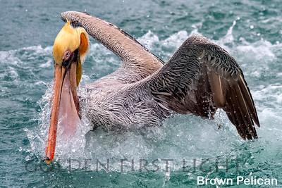 Pelicans & Hamerkop