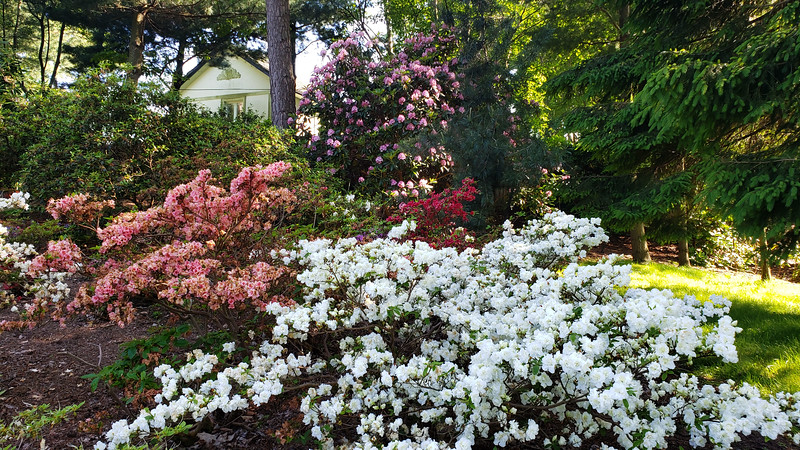 Ontario-Mississauga-PortCredit-RhododendronGarden-13.jpg