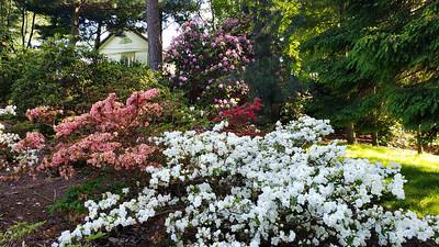 Brueckner Rhododendron Gardens 2019