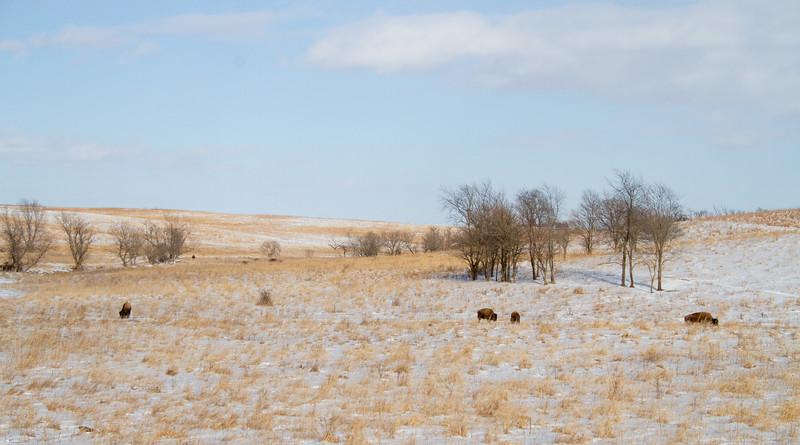 Bison Neal Smith National Wildlife Refuge NWR Prairie City IA  IMG_2189.jpg