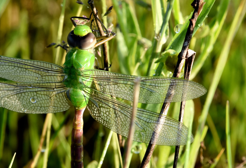 Green-Darner-Dragonfly-dewcovered-wings.jpg