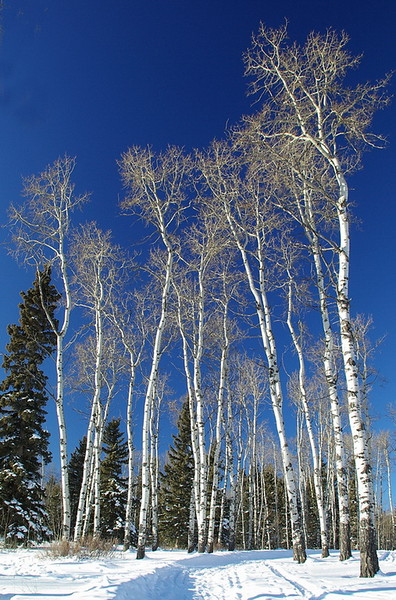 Wintering Birch no 2_resize.jpg