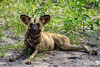 A wild dog listens for anything that may be of interest