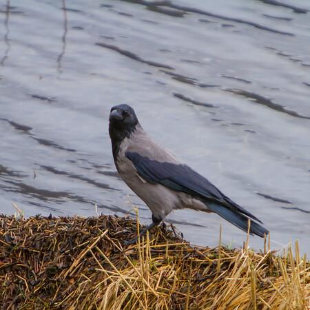 Hooded Crow, Kalandvann, outside Bergen, Norway, March 2014