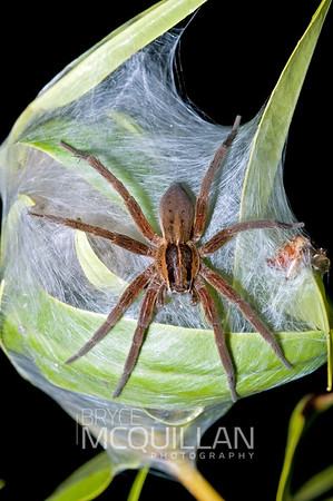 Dolomedes minor (Nursery web spider)