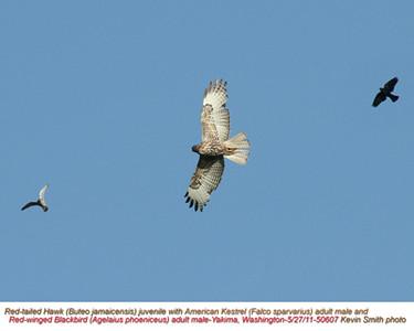 RedTailedHawk,AmericanKestrelM,Red-wingedBlackbirdM50607.jpg
