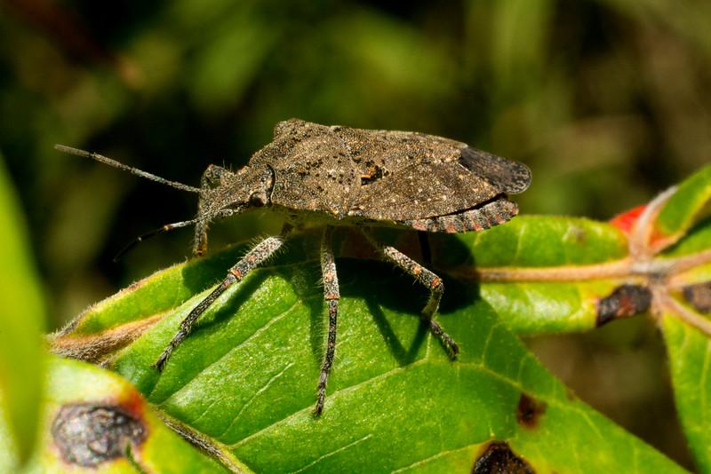 DX8633 Adult Rough Stink Bug.jpg