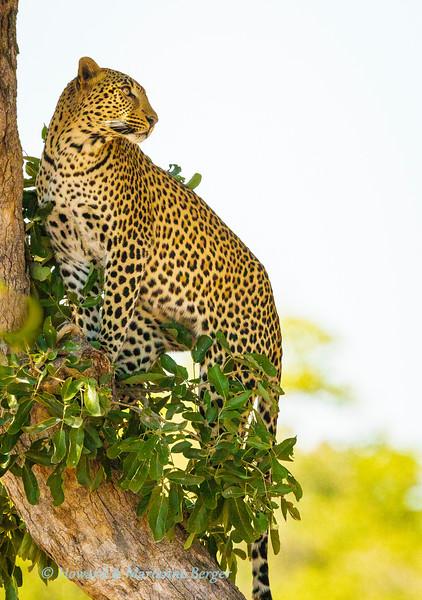 Leopard surveys surroundings 2