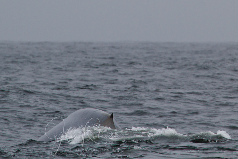 Whale-watching Farallon Islands July 2011