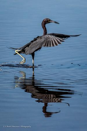 Water Foul/Sea Birds