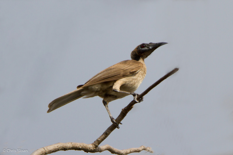 Helmeted Friarbird at Pacific Adventist University, Port Moresby, Papua New Guinea (09-29-2013) 009-379-Edit.jpg