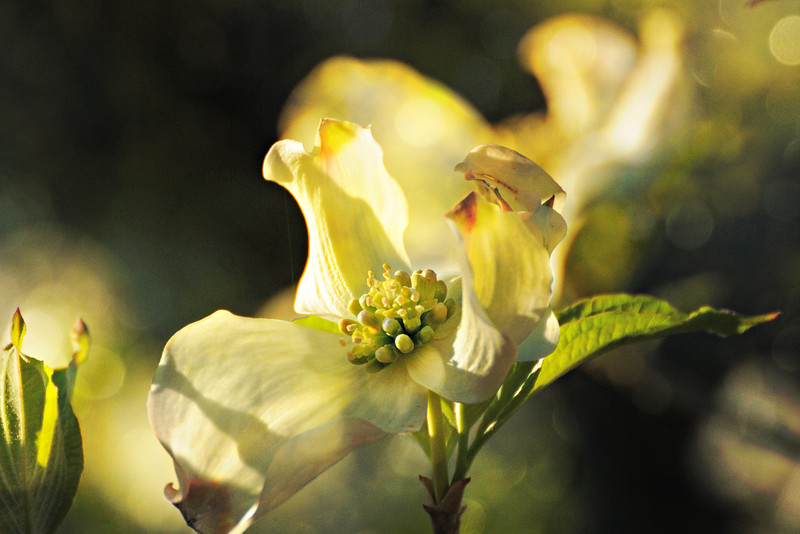 The dogwoods are beginning to bloom.<br /> <br /> And, of special note, the texture is my own.  Ain't that the berries!
