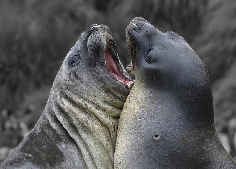 Elephant seals jousting