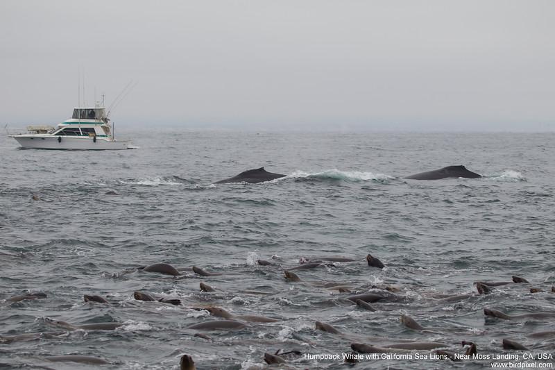 Humpback Whale with California Sea Lions - Near Moss Landing, CA, USA