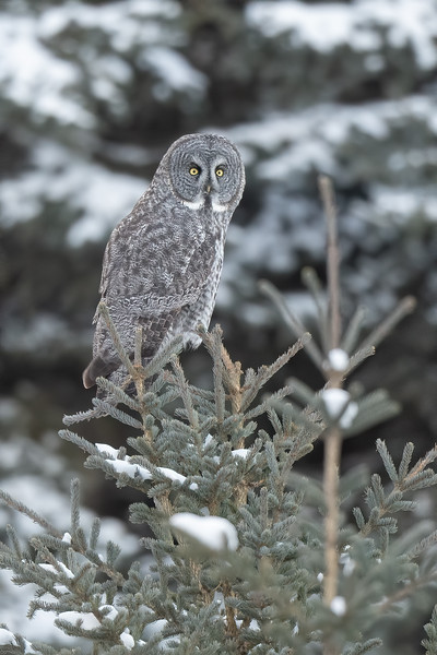 #1357 Great Gray Owl