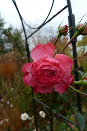 Rosa 'Pirontina'.jpg