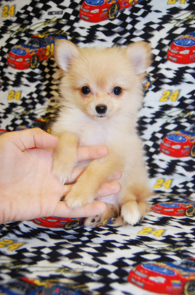 Sold Puppy #  POM 1034 SOLD TO ROXANNE M. ON 04-17-09