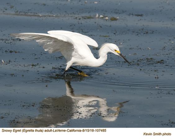 Snowy Egret A107485 .jpg