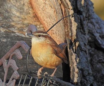 Back Yard Birds_St. Charles, MO