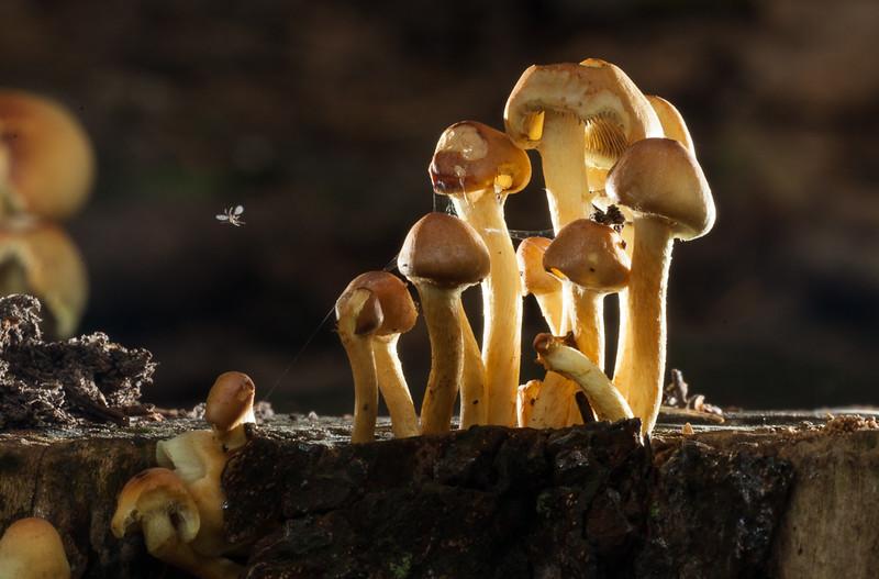Sheathed Woodtuft mushrooms (kuehneromyces mutabilis).