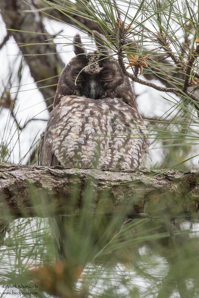 Stygian Owl - Record - Hidden Valley, Belize