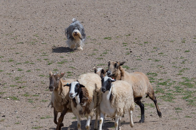 NCHGA Second Annual Herding Tests and Trials May 2017