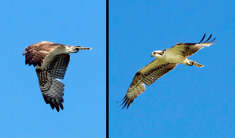 An Osprey flies over us.