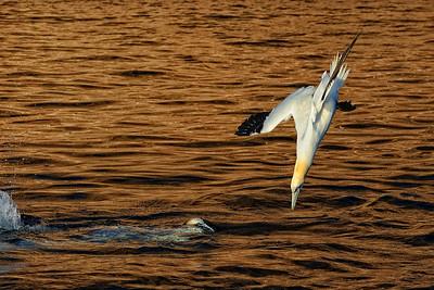 Gannets, Bonaventure Island,Canada 2010