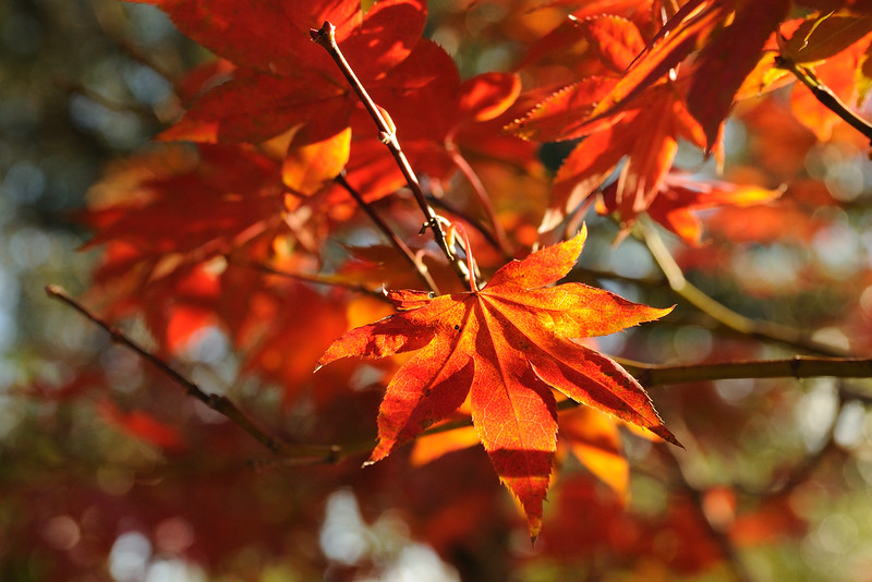 I think these are called ornamental Japanese maples.