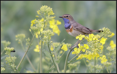 Blauwborst/Bluethroat