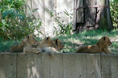 Elephants, Orangutans, and Lions  July 5 2014