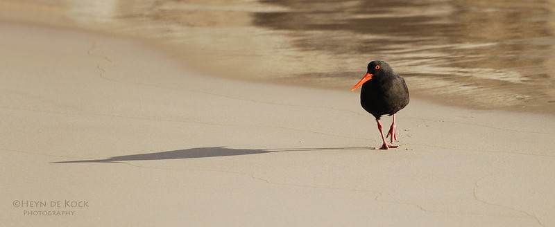 Sooty Oystercatcher, Long Point, WA, Aus.jpg
