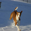 """""""Snow Play""""<br /> <br /> BISS DC HareHill's Breaking The Bank SC FCh """"Brody""""<br /> <br /> Photo by Wendy Anderson"""