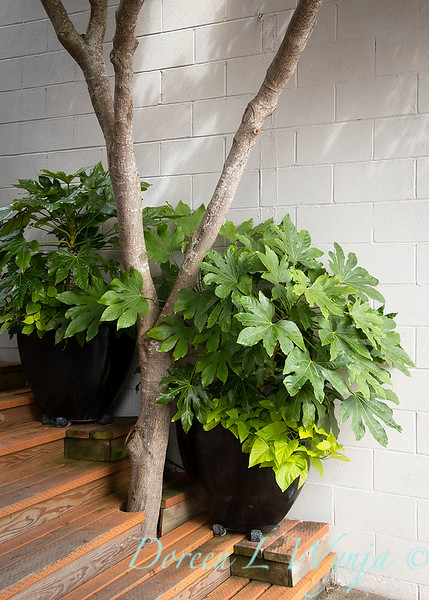 Fatsia japonica - containers_2387.jpg