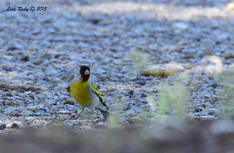 Lawrence's Goldfinch - 5/31/2015 - Cibbets Flat Campground, Kitchen Creek