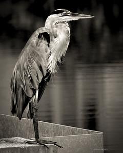 PRINT MONO - Handsome HeronJoe SclafaniUn14gold