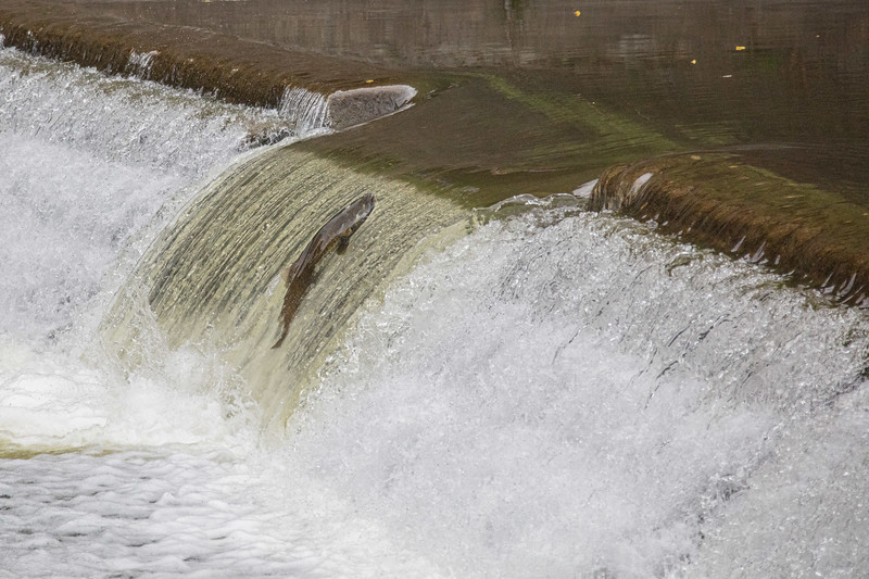 salmon upstream (44 of 48).jpg