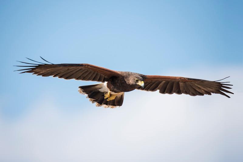 Harris Hawk - Laguna Seca Ranch-Edinburg, TX