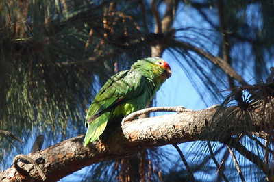 Red-lored Parrot/Amazon