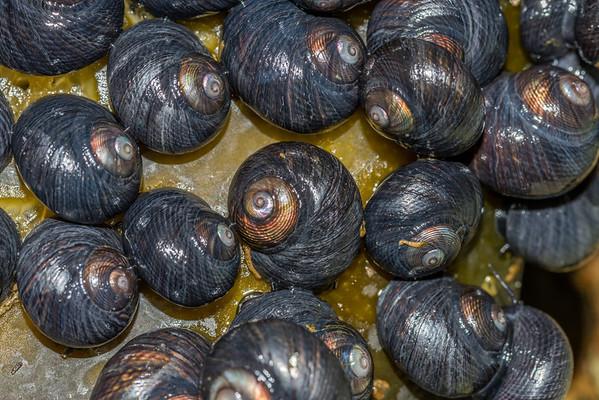 Top snails  (Trochidae)