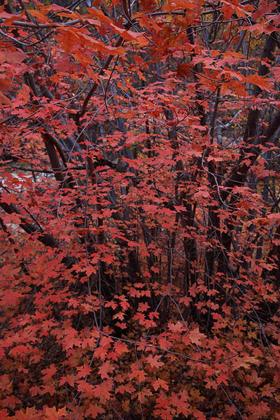 Zion_North_Creek_Subway_Trail_Fall_Foliage_3103.jpg