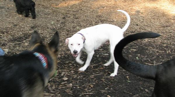POWDER (new pitbull girl)