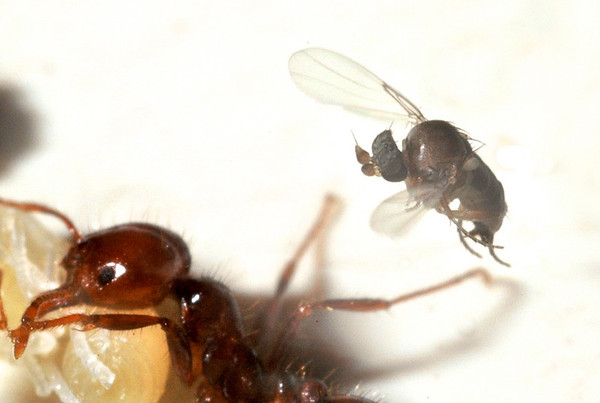 Fire Ant Decapitating Flies (Pseudacteon)